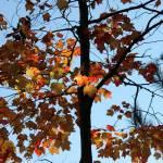 """""""Illuminated leaves"""" by KatesGrace"""