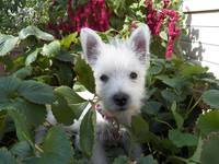 Miss Daisy - West Highland White Terrier