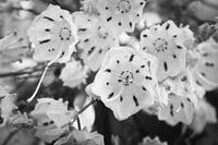 Mountain Laurel BW