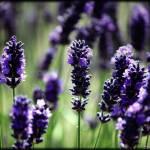 """lavender1"" by ochickphotography"