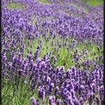 """lavender2"" by ochickphotography"