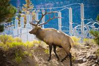 Powerful Bull Elk