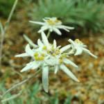 """""""Edelweiss"""" by mirceagaitan"""