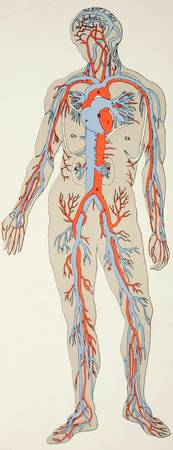 Distribution of Blood Vessels in the Human Body