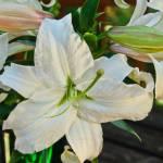 """Casa Blanca Lilies"" by julieandel"