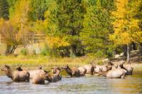 Elk Herd with Autumn Colors