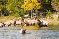 Bull Elk Watching Over Herd 4