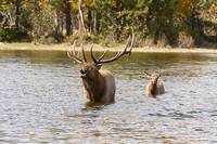 Bugling Bull Elk and Calf Colorado Rut