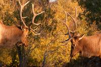 Two Elk  About  to Spar 84