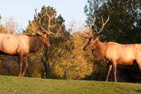 Two Bull Elk about to Spar 86