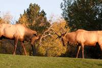 Two Sparring Bull Elk Number 87