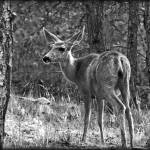 """A Female Deer B&W_4442"" by William_Lang_Photography"
