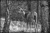 A Female Deer B&W_4442