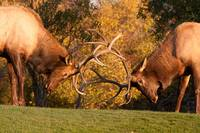 Two Sparring Bull Elk Number 88