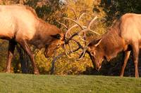 Two Sparring Bull Elk Number 89