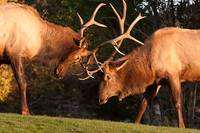 Two Sparring Bull Elk Number 91