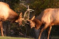 Two Sparring Bull Elk Number 92