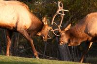 Two Sparring Bull Elk Number 93