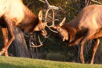 Two Sparring Bull Elk Number 94
