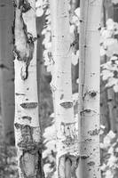 Three Aspen Trees in Black and White