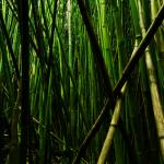 """bamboo"" by AlexWilson"