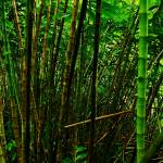 """thick bamboo"" by AlexWilson"