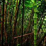 """thicker bamboo"" by AlexWilson"