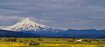 Wild Horses Run with Mt Hood