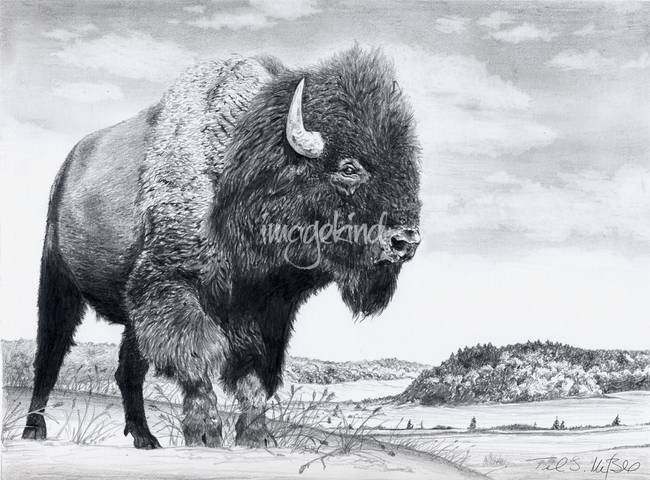 Stunning Quot Buffalo Amp Bison Quot Pencil Drawings And