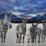 """""""Patagonian Snow Zebras"""" by wishiwsthr"""