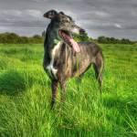 """Popsy Greyhound"" by chris-roe"