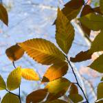 """""""Yellow and Brown Fall Leaves"""" by stevenricciphotography"""
