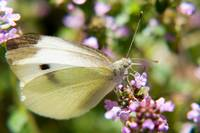 White Butterfly on Thyme Flowers