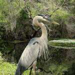 """Great Blue Heron on Lake Tarpon"" by spadecaller"
