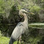 """""""Great Blue Heron on Lake Tarpon"""" by spadecaller"""
