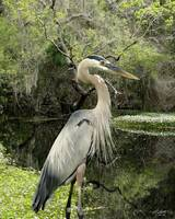 Great Blue Heron on Lake Tarpon