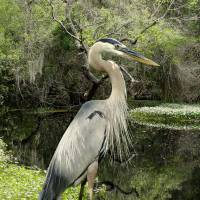 Great Blue Heron on Lake Tarpon by I.M. Spadecaller