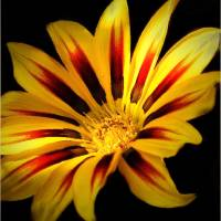 """Yellow And Red Flower"" by Mikki Cucuzzo"