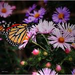 """Butterfly and wild flowers 5"" by micspics444"