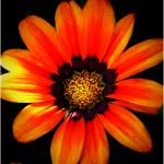 """Orange Flower Closeup"" by micspics444"