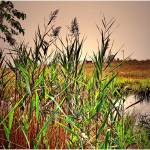 """Marsh Grass"" by micspics444"