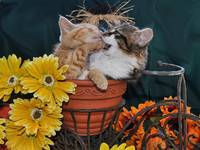 Two Kitty Cats Kittens Fighting,Fall Flower Pot