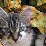 """Kitty Cat Kitten Sass,Large Eyes,FallTime,Portrait"" by Chantal"