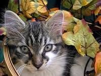 Kitty Cat Kitten Sass,Large Eyes,FallTime,Portrait