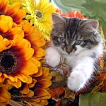 """""""Peaceful Maine Coon Kitty Cat Kitten Looking Down"""" by Chantal"""