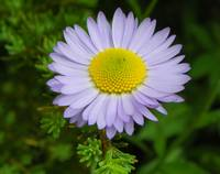 Botanical - Subalpine Daisy - Outdoors Floral