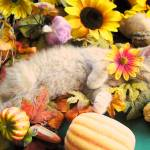"""Dreamy Kitty Cat Kitten,Autumn Harvest Still Life"" by Chantal"
