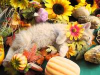 Dreamy Kitty Cat Kitten,Autumn Harvest Still Life