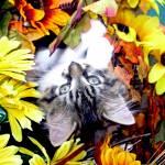 """Playful Maine Coon Kitty Cat Kitten Upside Down"" by Chantal"