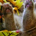 """""""Cute Kitty Cat Kitten,Supine Position,Hind Legs Up"""" by Chantal"""